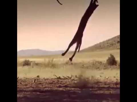 Caracal catching flying bird.