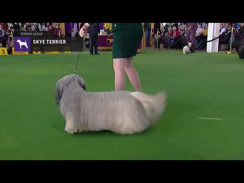 Skye Terriers | Breed Judging 2019