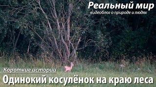 Одинокий косулёнок на краю леса. Европейская косуля (Capreolus capreolus).