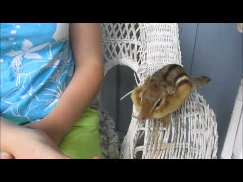 Tamed Chipmunk--our little chipper