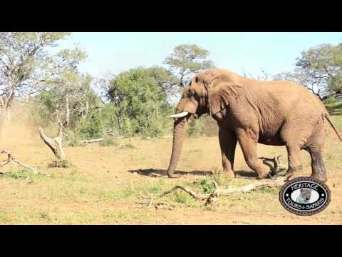 african elephant food chain diagram 2004 chrysler sebring headlight wiring big 5 lion leopard rhino and buffalo facts vs