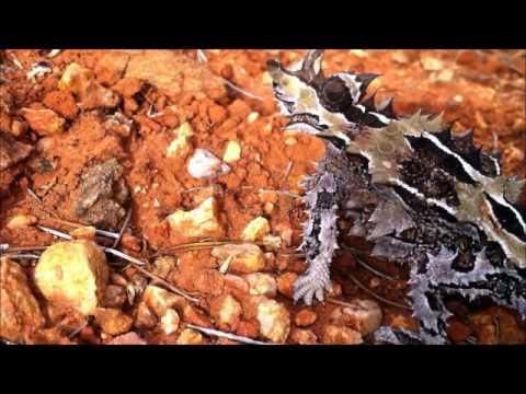 The Thorny Devil | Reptile Renaissance