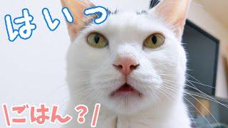 ごはんのときだけママと会話出来るお喋り猫チロさん