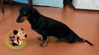 Дископатия у собак. Межпозвоночная грыжа, история болезни