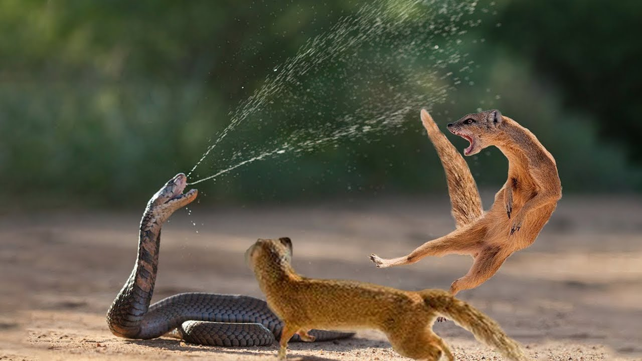 Snake King Cobra Vs Mongoose Real Fight Big Battle In The