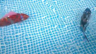 Gambar cover Robot Fish in the Pool and Very Realistic Swimming | PhimGiaiTri