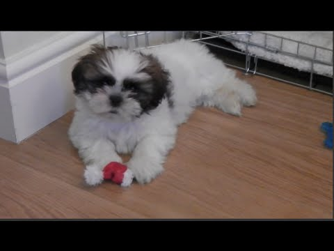 Meet Our New Puppy Louis 9 Weeks Old Shih Tzu Youtube