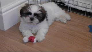 Meet Our New Puppy Louis -  9 Weeks Old Shih Tzu