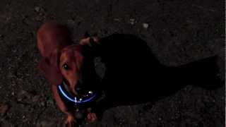 Safetyglo Harness Review From Ammo The Dachshund