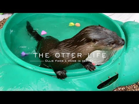 Growing up otter: How the Denver Aquarium rescued a river otter from a gas station in Florida