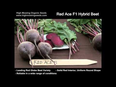 Organic Red Ace F1 Hybrid Beet