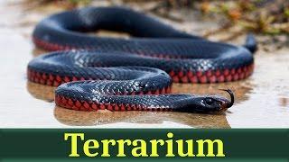 Чёрная змея, или чёрная ехидна (лат. Pseudechis porphyriacus)