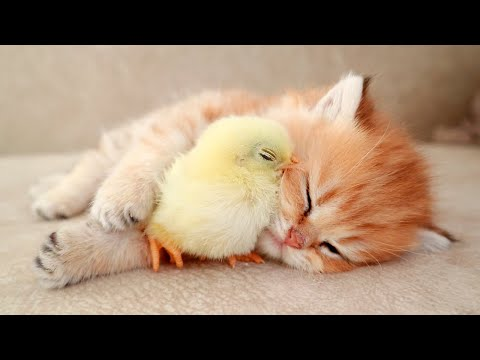 Kitten sleeps sweetly with the Chicken