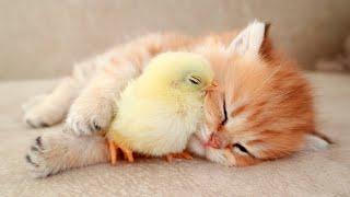 Котенок сладко спит вместе с цыпленком 🐥
