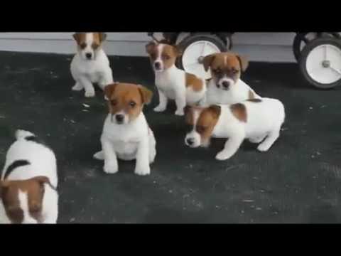 Jack Russel Regalo Cuccioli.Regalo Vaccinati Cuccioli Di Jack Russell Terrier Youtube