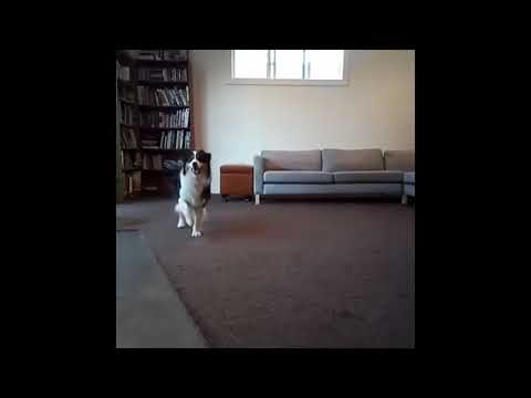 Funniest dog tricks compilations! Amazing talent!😍🐶🐕❤