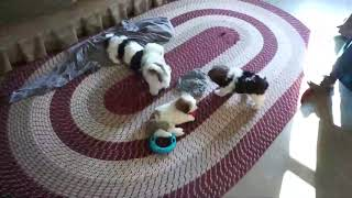 Havanese Puppies For Sale Sara Hershberger