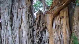 Our Heritage Big Banyan - the tree of life at Department of Horticulture, GKVK, UAS, Bangalore