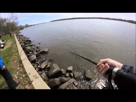 Striped bass fishing during the spring run in delaware for Delaware river striper fishing