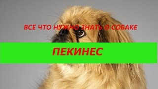 Порода собак. Пекинес. Элегантная внешность,яркая натура