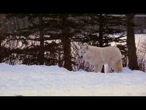 Skijouring and visiting the Wolfdog Sanctuary in Canmore Alberta Canada with the Planet D