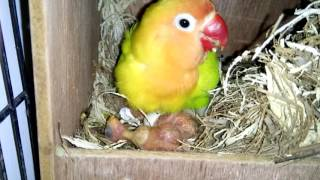 Cara lovebird ngeloloh anaknya 28 agustus