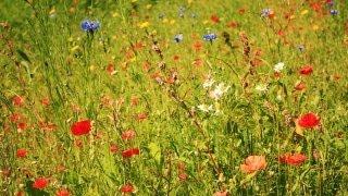 видео Как сделать зелёный газон ещё зеленее