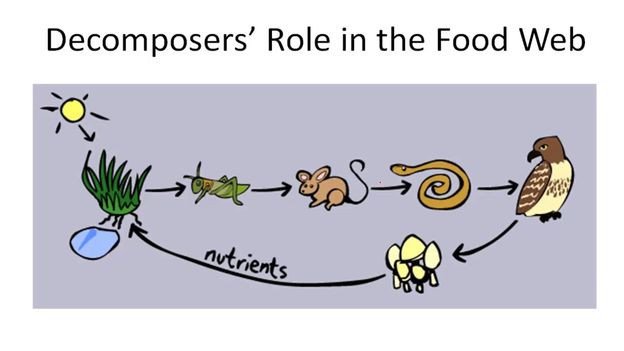 how to draw scavengers in a food web