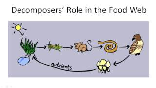 Decomposers; Role in the Food Web