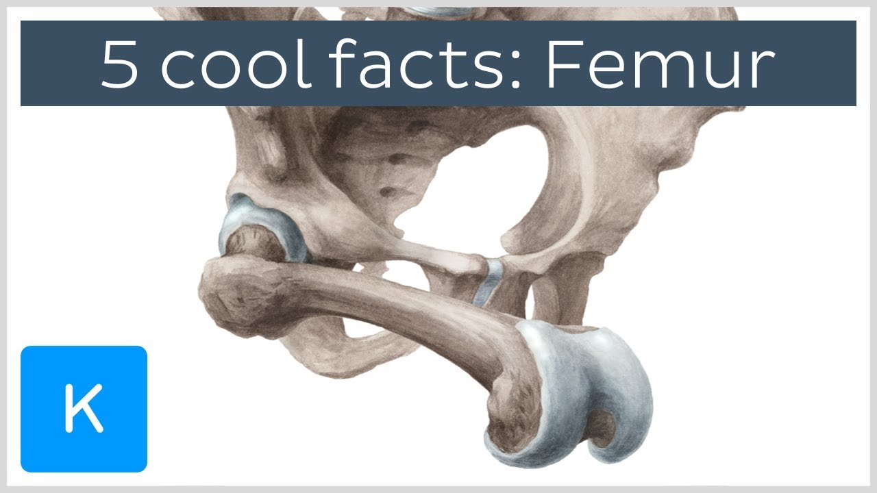 5 cool facts about the femur (thigh bone) - Human Anatomy | Kenhub ...