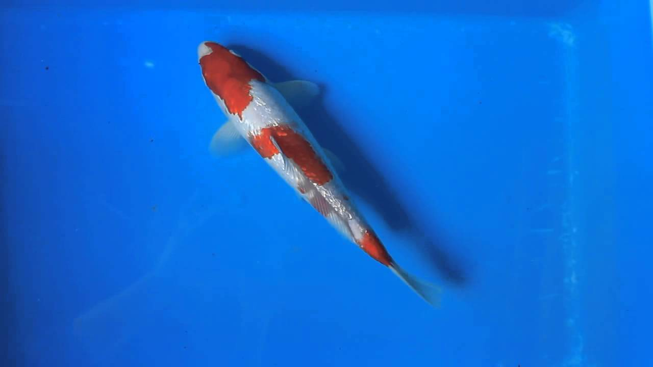 Gin rin kohaku koi carp fish for sale love aquatics for Kohaku koi fish for sale
