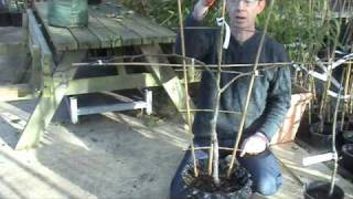 Espallier Pruning Pear or Apple trees - Reads Nursery