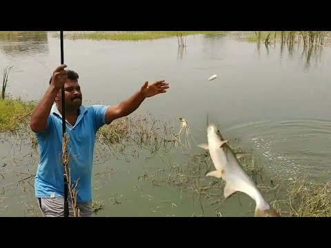 Fish Hunting||Pangasius/Basa Fish And Chinese Silver Pomfret Fishing