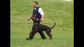 Zedd Von Neusaddrache 15 Months Old , Obedience Training.