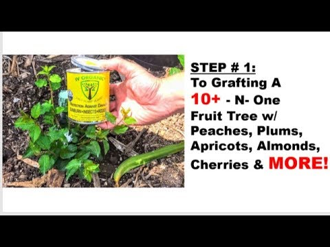STEP #1: To GRAFTING A 10+-in-1 Fruit Tree w/ Peaches, Plums, Apricots, Almonds, & MORE!