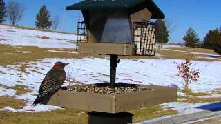 Wild Bird House : Flicker, Red Bellied Woodpecker, Goldfinch & Blue Jay : Backyard Bird Watching