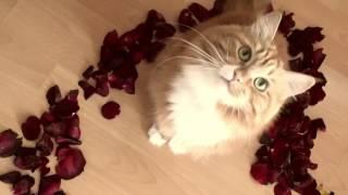 День рождения кошки ♥ Сибирская кошка Шерри ♥ Кошка в лепестках роз ♥