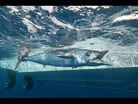 Into The Blue: Wahoo Wisdom
