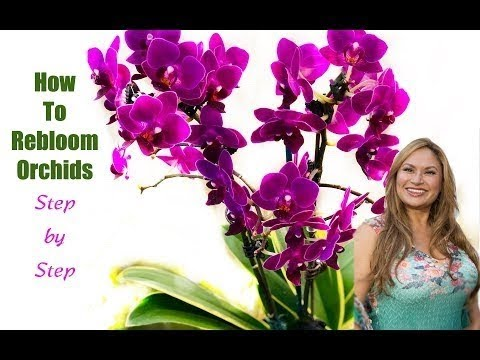 Orchid Care How To Make Orchids Rebloom Flower Again Youtube