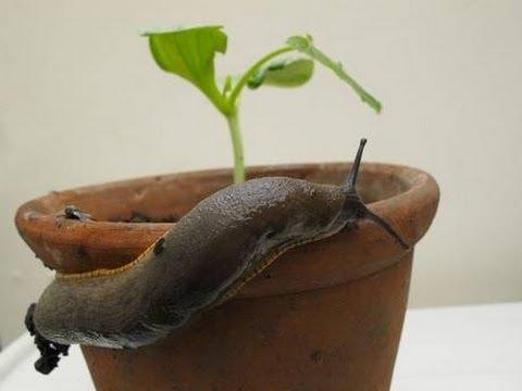 Coffee, the best Slug Repellent!!
