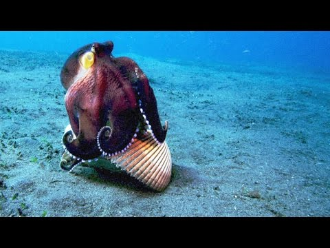Thumbnail: A Coconut Octopus Uses Tools to Snatch a Crab