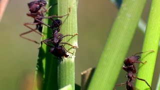 A production line of ants - The Wonder of Animals: Episode 4 Preview - BBC One