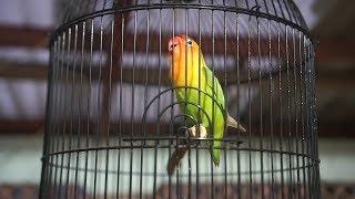 masteran pancing lovebird ngetik ngekek panjang ampuh paud langsung nyaut