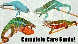 Complete Panther Chameleon Care Guide