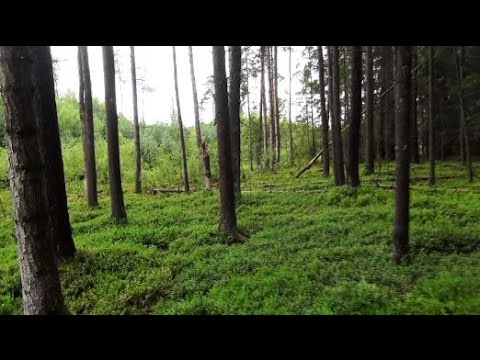 Baumharz, das gelbe Gold des Waldes - Bushcraftwissen
