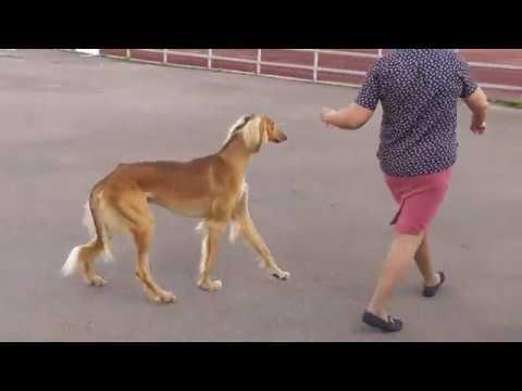 Салюки, персидская борзая, видео с выставки собак