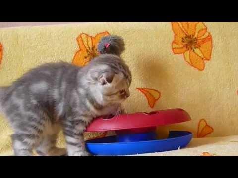 Купить шотландского котенка? Котята для Вас: чистокровные черные .