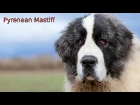 Pyrenean Mastiff - medium size dog breed
