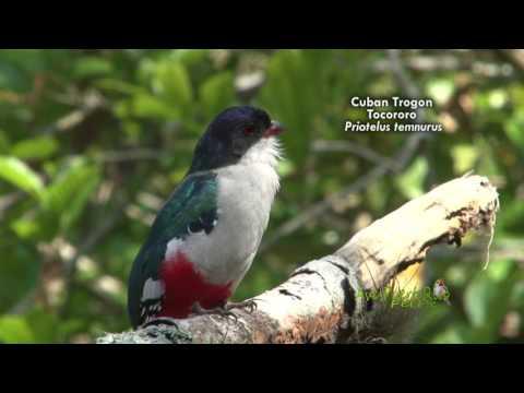 ENDEMIC BIRDS  OF CUBA / AVES ENDEMICAS DE CUBA