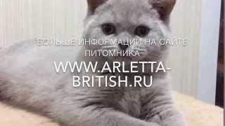 Британский котёнок. Милая кошечка. Котята играют. Купить котёнка. Питомник Британских кошек